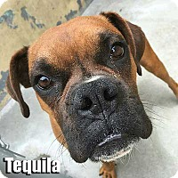 Adopt A Pet :: Tequila - Encino, CA