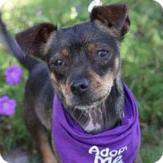 Terrier (Unknown Type, Medium)/Dachshund Mix Dog for adoption in Pacific Grove, California - Georgie