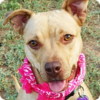 Adopt A Pet :: Mini MINNIE - Phoenix, AZ
