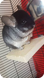 Chinchilla for adoption in Patchogue, New York - Shrek