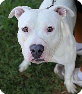 American Bulldog/Dogo Argentino Mix Dog for adoption in San Diego, California - Marlon