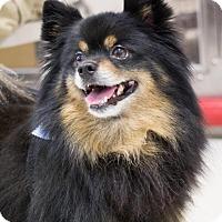 Adopt A Pet :: Gizmo - Grand Rapids, MI