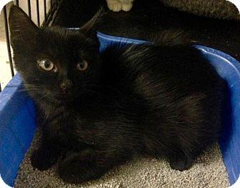 Domestic Shorthair Kitten for adoption in River Edge, New Jersey - Obsidian
