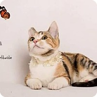 Domestic Shorthair Cat for adoption in Westlake, California - CALI