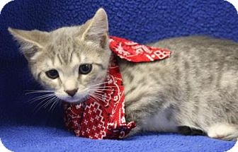 Domestic Shorthair Kitten for adoption in Voorhees, New Jersey - Forrest