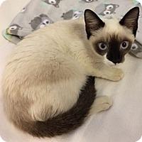 Siamese Kitten for adoption in Oakland Park, Florida - Maggie