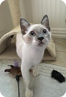 Siamese Kitten for adoption in Bulverde, Texas - Thor 2