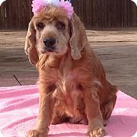 Adopt A Pet :: Ellie - Toluca Lake, CA
