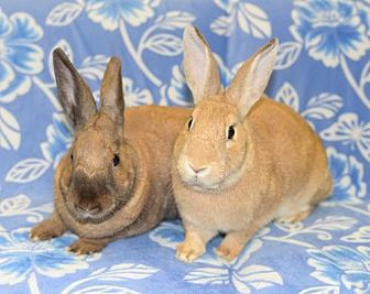 Satin Mix for adoption in Chesterfield, Missouri - Jonah and JoAnn