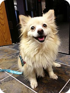 Pomeranian Dog for adoption in Baton Rouge, Louisiana - Dusty