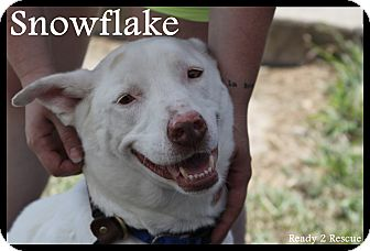Shepherd (Unknown Type)/Labrador Retriever Mix Dog for adoption in Rockwall, Texas - Snowflake