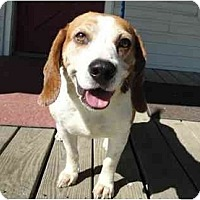 Adopt A Pet :: Mr. Beagle (FL) - New York, NY