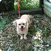 Adopt A Pet :: Simba - ADOPTION PENDING!! - Antioch, IL