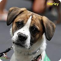 Adopt A Pet :: Harley - Alpharetta, GA