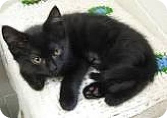 Bombay Cat for adoption in Sunny Isles Beach, Florida - Radish