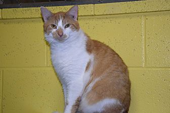 Domestic Shorthair Cat for adoption in Pottsville, Pennsylvania - Atwell