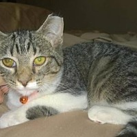 Domestic Shorthair Kitten for adoption in Columbus, Ohio - Ridley