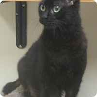 Domestic Shorthair Cat for adoption in Gary, Indiana - Midnight