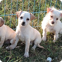 Adopt A Pet :: White puppies - Anderson, SC