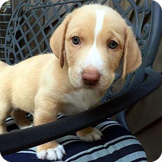 Basset Hound Mix Puppy for adoption in Pennsville, New Jersey - JACKSON - ADOPTION PENDING!