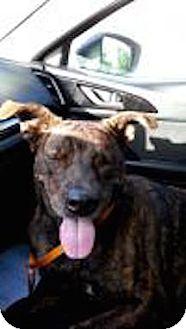 Labrador Retriever/Pit Bull Terrier Mix Dog for adoption in Satellite Beach, Florida - Anna