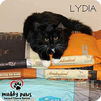 Domestic Shorthair Kitten for adoption in Council Bluffs, Iowa - Lydia