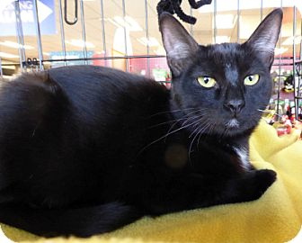 Bombay Cat for adoption in Mission Viejo, California - Sashay