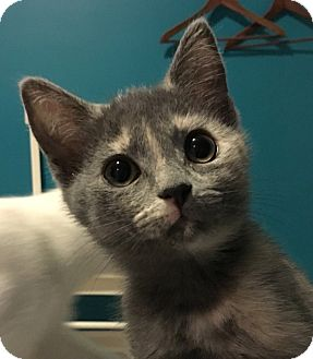 Domestic Shorthair Kitten for adoption in LaGrange, Kentucky - Coriander