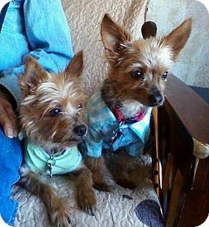 Yorkie, Yorkshire Terrier Dog for adoption in Jacksonville, Florida - Ellie & Oliver