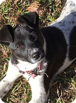 Rat Terrier Mix Dog for adoption in Memphis, Tennessee - Sammie