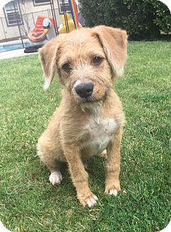 Terrier (Unknown Type, Small) Mix Puppy for adoption in Studio City, California - Watson