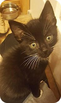 Domestic Shorthair Kitten for adoption in Bellingham, Washington - Hamish