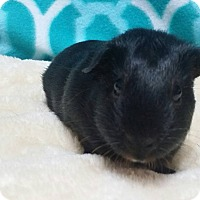 Guinea Pig for adoption in South Bend, Indiana - Elf-adoption pending!