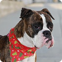 Boxer Dog for adoption in Huntington Beach, California - Maggie