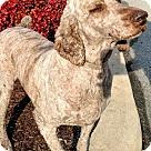 Adopt A Pet :: Cordelia