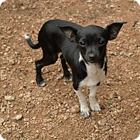 Adopt A Pet :: Dancer - San Antonio, TX