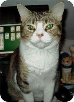 Domestic Shorthair Cat for adoption in Boston, Massachusetts - MamaS