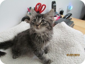 Maine Coon Kitten for adoption in Island Park, New York - Butter