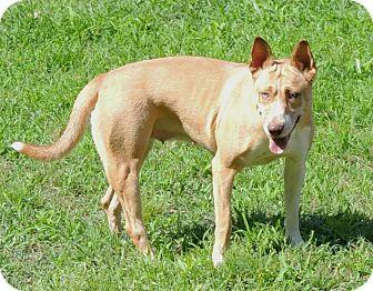 Pit Bull Terrier/Husky Mix Dog for adoption in Joplin, Missouri - Valerie