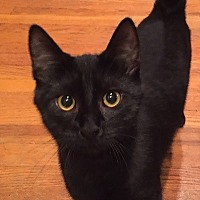 Domestic Shorthair Kitten for adoption in Woodland Hills, California - Chili