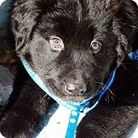 Adopt A Pet :: Pete-pending adoption - Manchester, CT