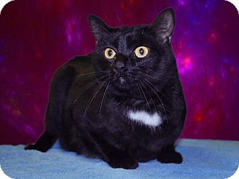 Domestic Shorthair Cat for adoption in New Castle, Pennsylvania - Felix