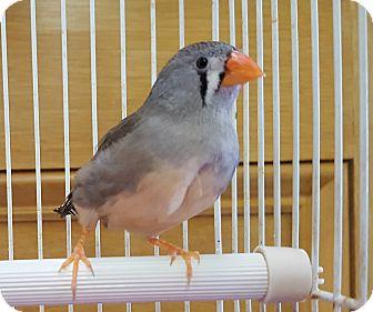 Finch for adoption in Grandview, Missouri - Zippy