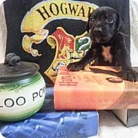 Adopt A Pet :: Zp litter - Hagrid - Livonia, MI