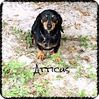 Dachshund Dog for adoption in Green Cove Springs, Florida - Attiucs