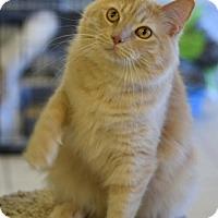 Adopt A Pet :: Commodore McFluffins - DFW Metroplex, TX