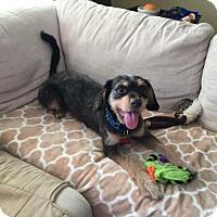 Adopt A Pet :: Suki - Needs Foster - Bloomington, MN