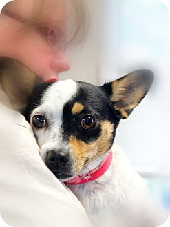 Rat Terrier/Corgi Mix Dog for adoption in Chattanooga, Tennessee - DeeDee