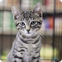 Adopt A Pet :: Sprinkles-13365 - Richardson, TX