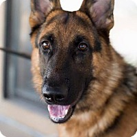 German Shepherd Dog Dog for adoption in Las Vegas, Nevada - Ruckus